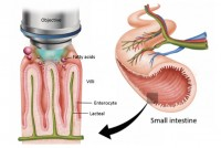 thum_discovery-of-contracting-lacteal-in-live-small-intestine